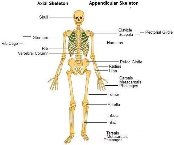 human male anatomy organ | tempat untuk dikunjungi | pinterest, Skeleton