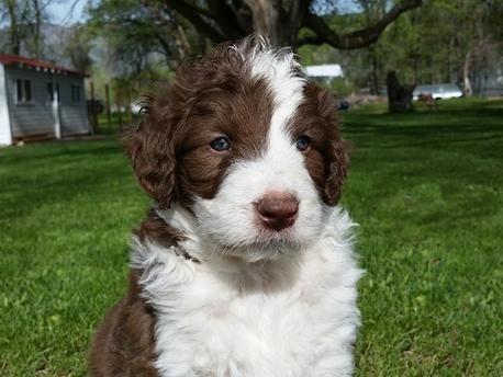 Upcoming Borderdoodle Litters Bordoodle Animal Antics Puppies