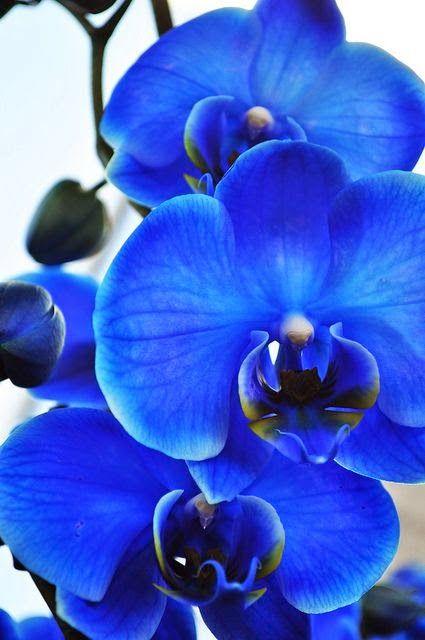 Blue Orchid Flowers And Gardens Orchidee Blu Fiori Blu Coltivare I Fiori