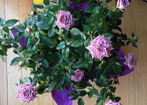 Lavender Kordana® Rose Bush Fragrant\/Hardy 4 Pot by HirtsGardens - rose aus stein deko