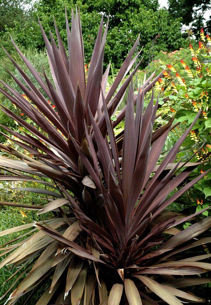 Fiche plante cordyline fiches jardins tropicaux et - Cordyline feuilles qui jaunissent ...