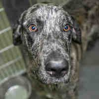 Adopt Dallas On Great Dane Dogs Giant Dogs Dogs