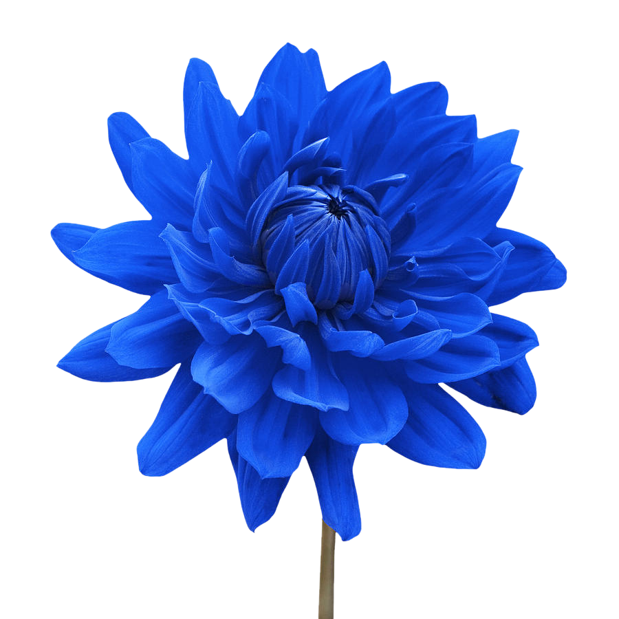 white flower png blue dahlia flower white background