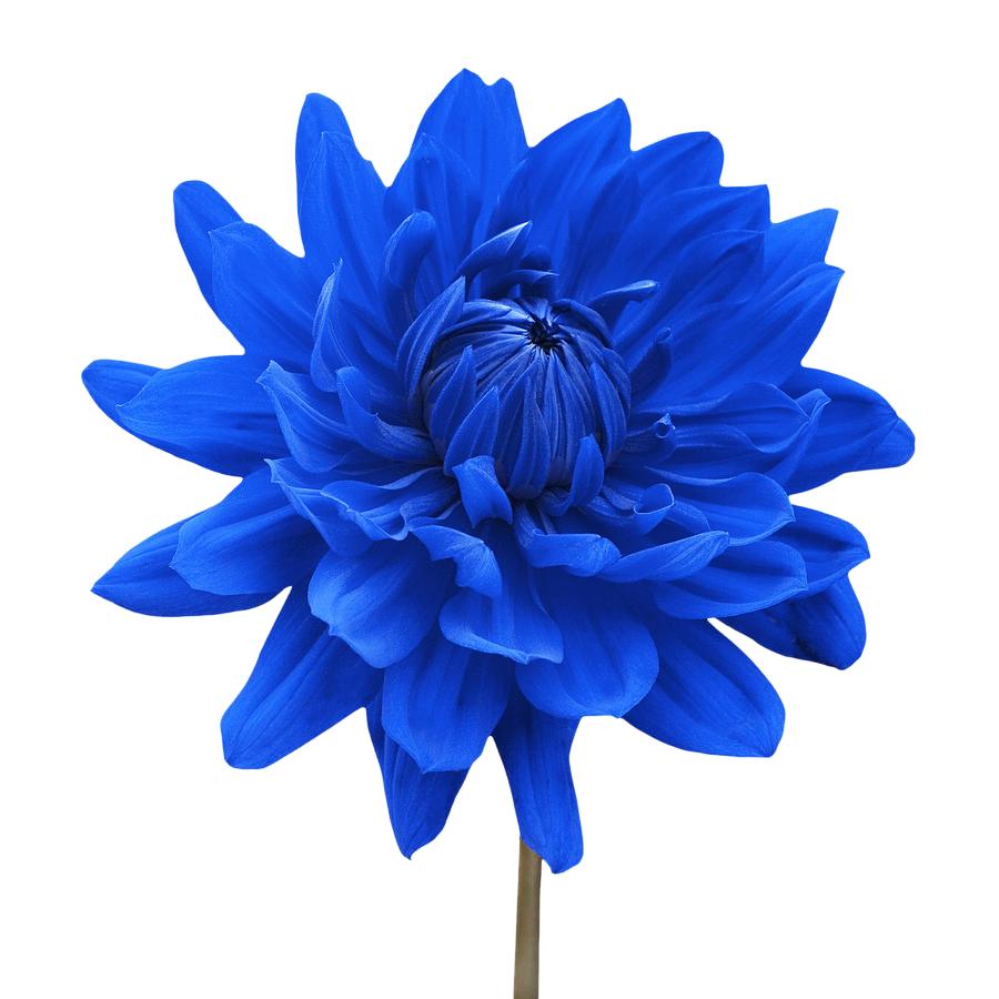 white flower png | blue dahlia flower white background ...