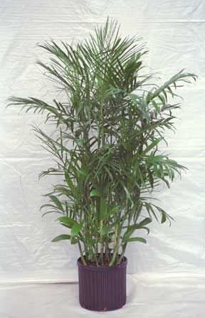 The Bamboo Palm Botanically Chamaedorea Seifrizii Also Known As Reed Is One Of Best Indoor Palms And Houseplants That Clean Air Learn More