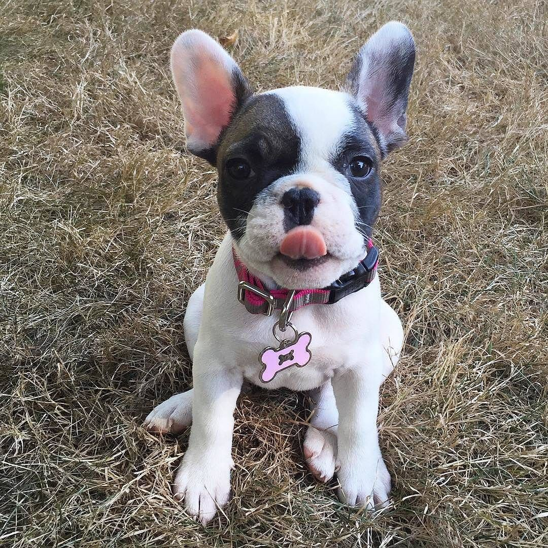 credit frenchie.world The oneofakind French Bulldog
