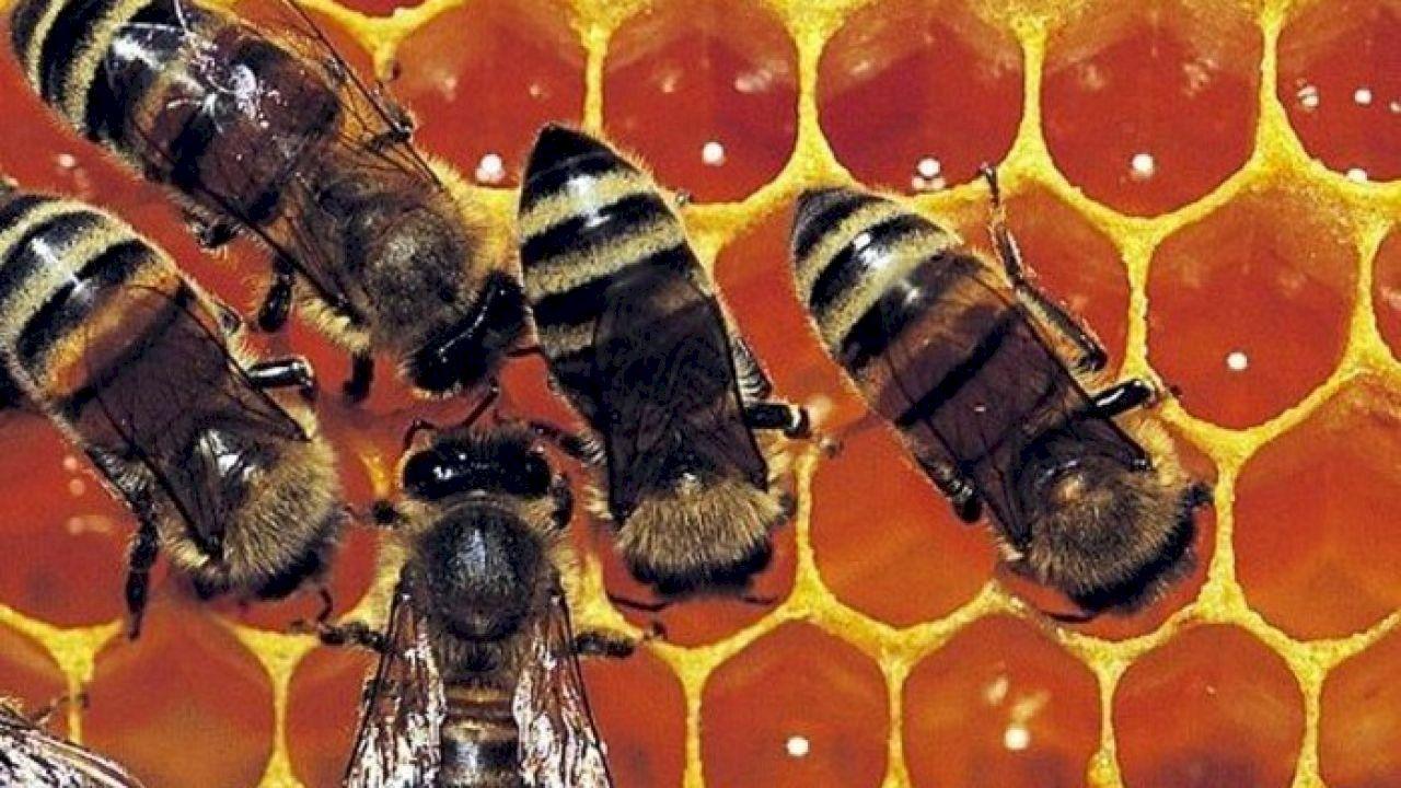 طريقة استخدام غذاء ملكات النحل Royal Jelly Benefits Royal Jelly Bee