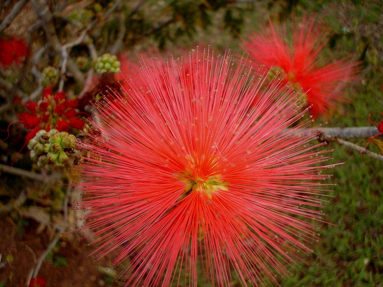 Porque Caliandra Plantas Exoticas Arvores Com Flores Flores Do