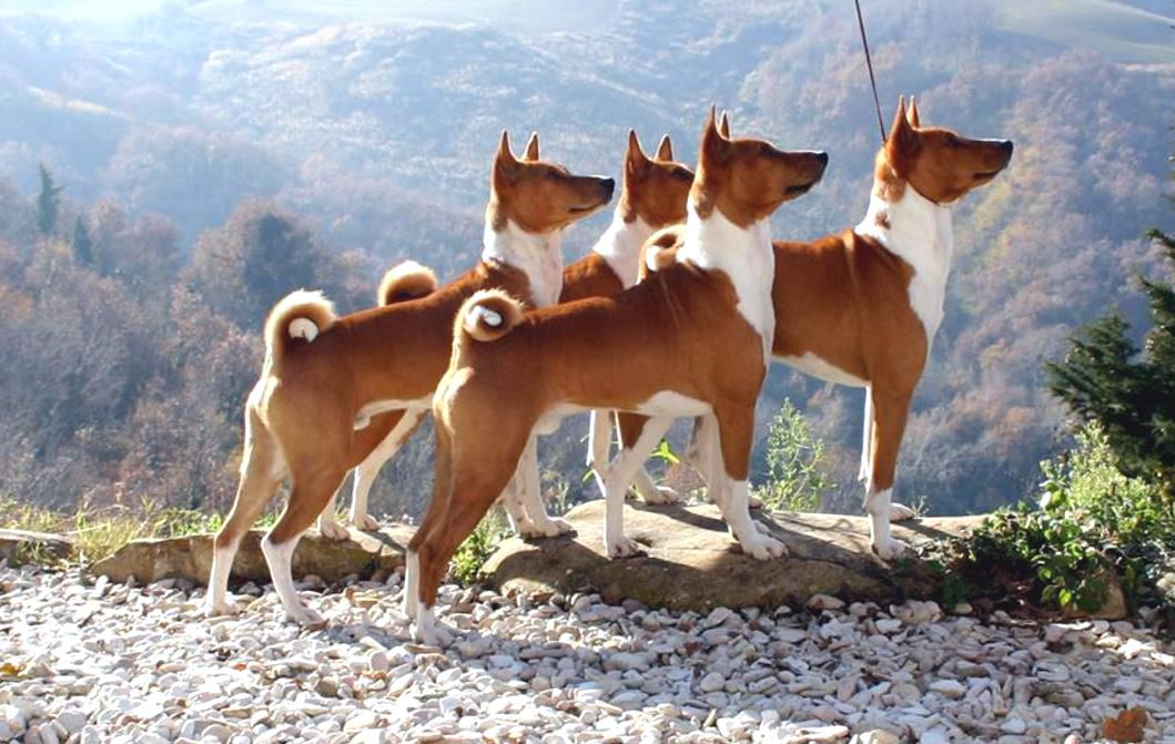 Red And White Basenji Pack Basenji Dogs Dogs Of The World Basenji Puppy