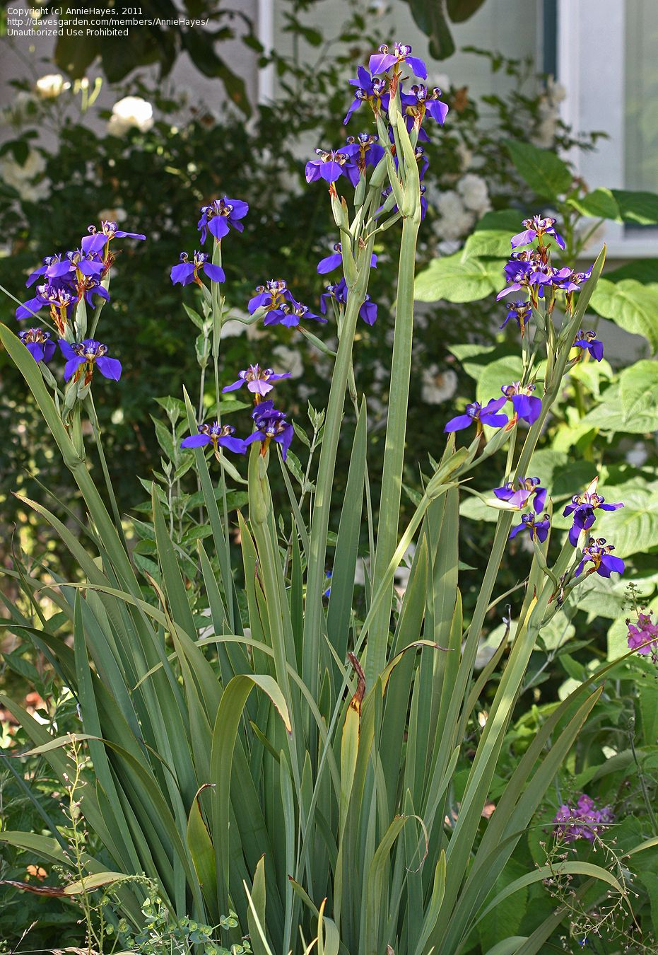 View picture of walking iris twelve apostles neomarica caerulea view picture of walking iris twelve apostles neomarica caerulea at daves garden all pictures are contributed by our community izmirmasajfo