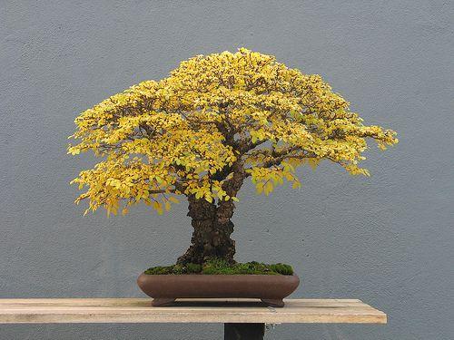 Estilo escoba Ulmus parviflora en el otoño