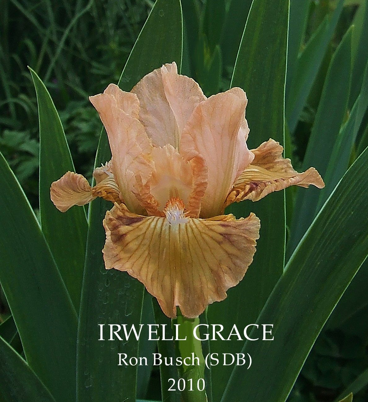 Standard Dwarf Bearded Iris Irwell Grace Flowering For Me Today Standards Painted A Bright Blended Salmon Pink That Complime Dwarf Beard Bearded Iris