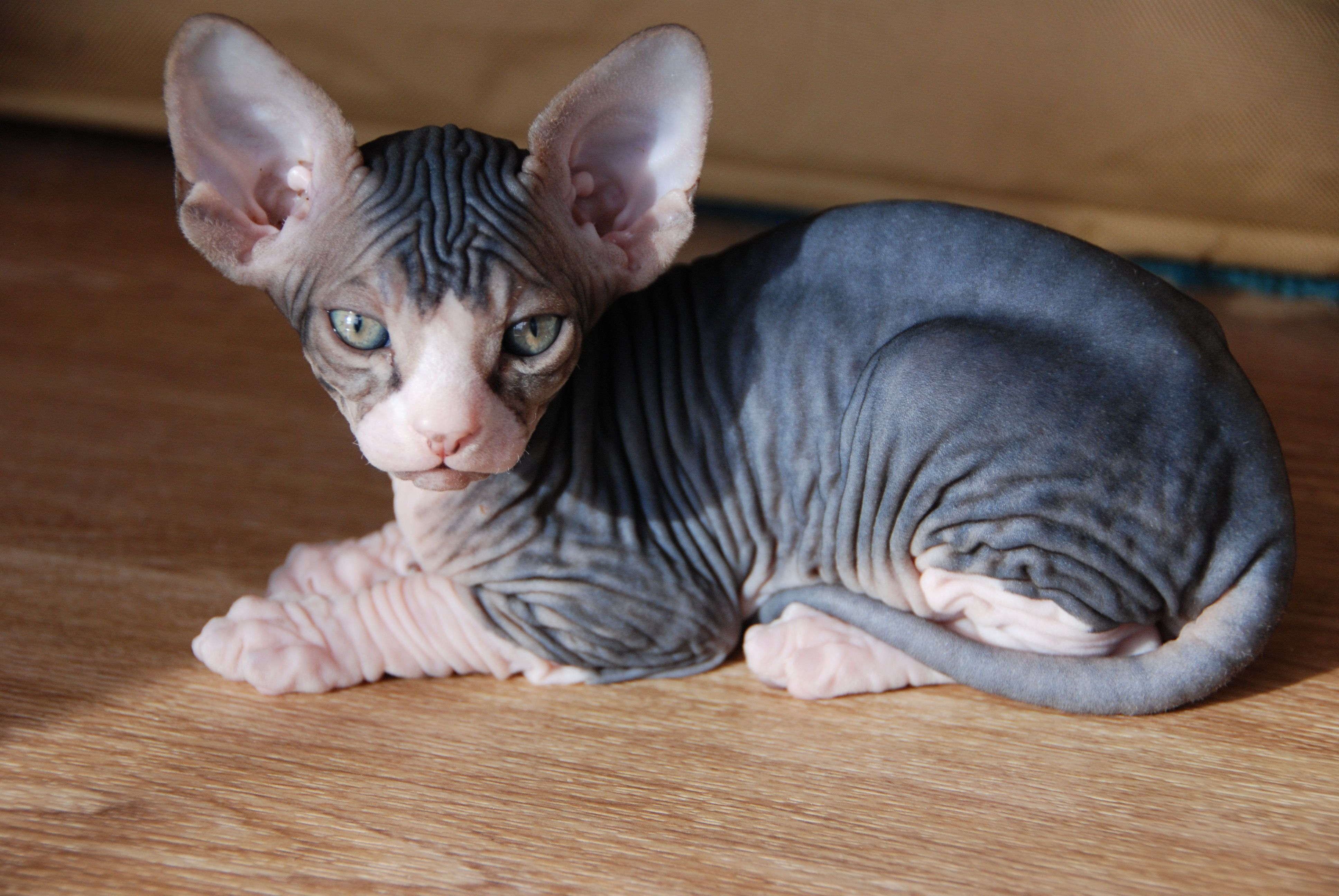 Black Tabby and White Sphynx Sphynx, Hairless kitten