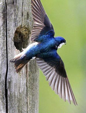 A tree swallow feeds its young in a hole in a snap at the Montlake Fill in Seattle.