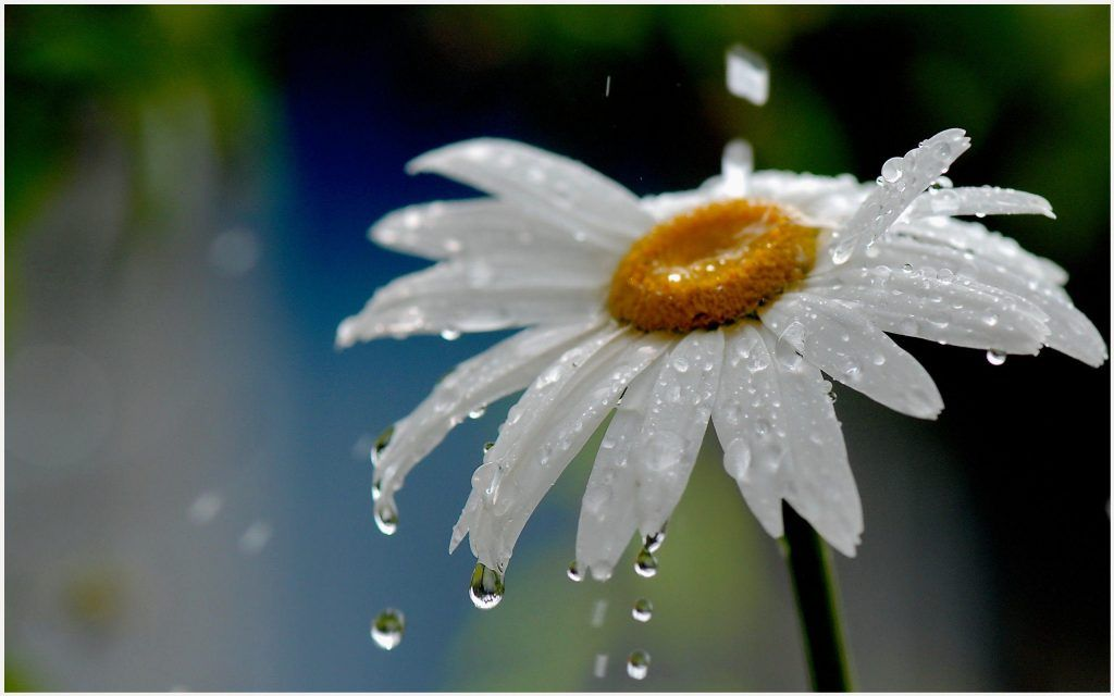 Rain flower wallpaper mobcup sweet rain flower wallpaper rain rain flower wallpaper mobcup sweet rain flower wallpaper rain flower wallpaper rain flower wallpaper hd raindrop flower wallpaper thecheapjerseys Gallery
