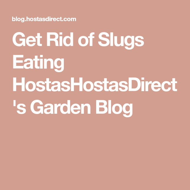 Get Rid of Slugs Eating Hostas is part of Hosta garden Ideas - How to get rid of slugs eating hostas  Find out a variety of tips on how to get rid of slugs eating hostas  Several natural methods that won't harm garden