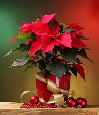 Le Poinsettia Ou Etoile De Noel Entretien Le Faire Refleurir
