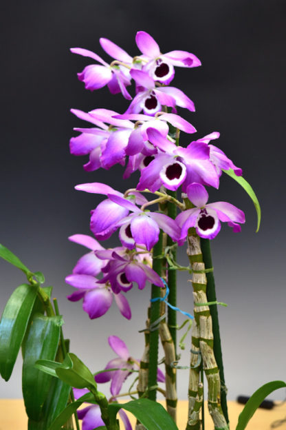 Dendrobium Nobile Important Species From Asia Easy To Grow And Bloom Used In Chinese Medicine Not In Bud Bloom When Shipped In 2020 Dendrobium Nobile Orchids Orchid Bark
