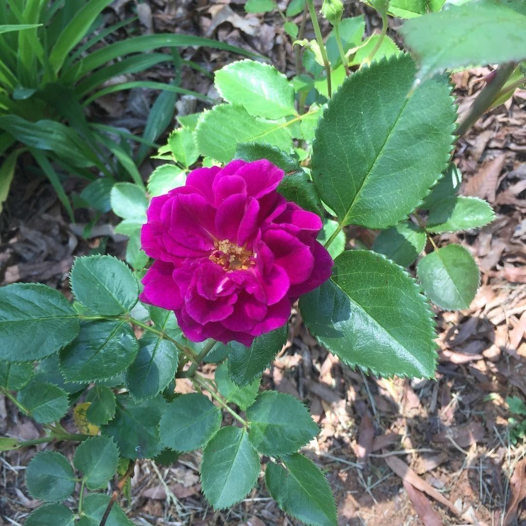 Garden Ebb Tide Rose