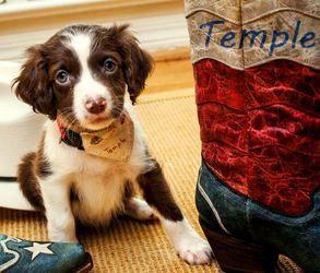 Adopt ARPH 13385 Temple on Australian shepherd dogs