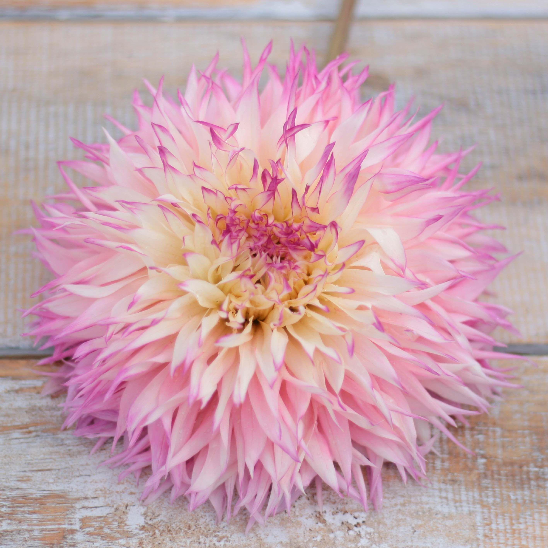 Fluffy pink dahlia! It is named dahlia Pineland Princess,