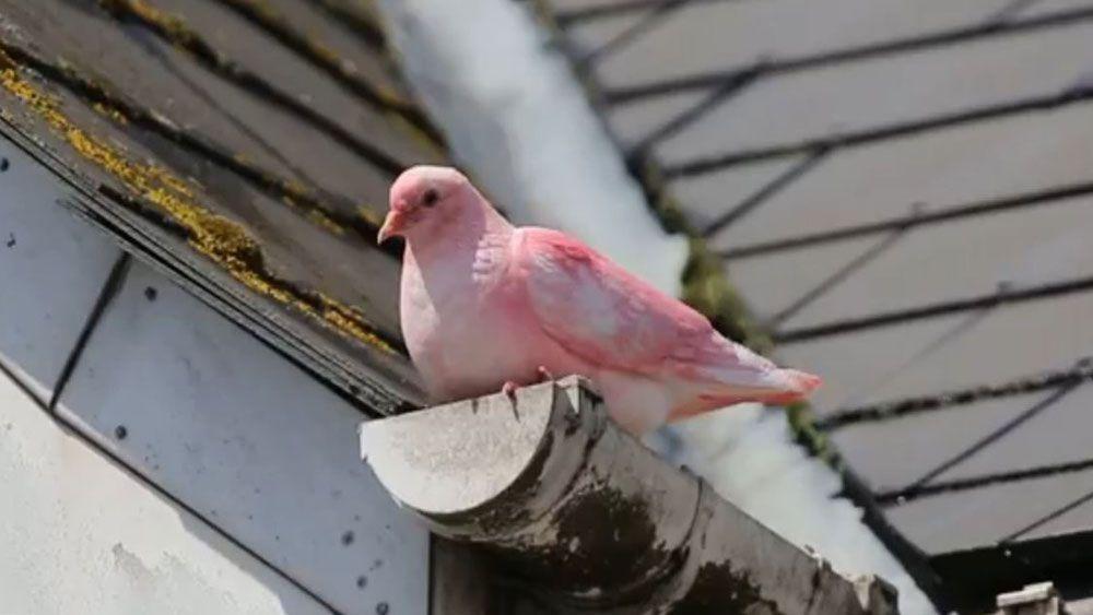 Die Menschen In Bournemouth Trauten Ihren Augen Nicht Sie Haben Eine Pinke Taube Entdeckt Was Ist Mit Dem Vogel Passiert Taube Garten Gestalten Pink