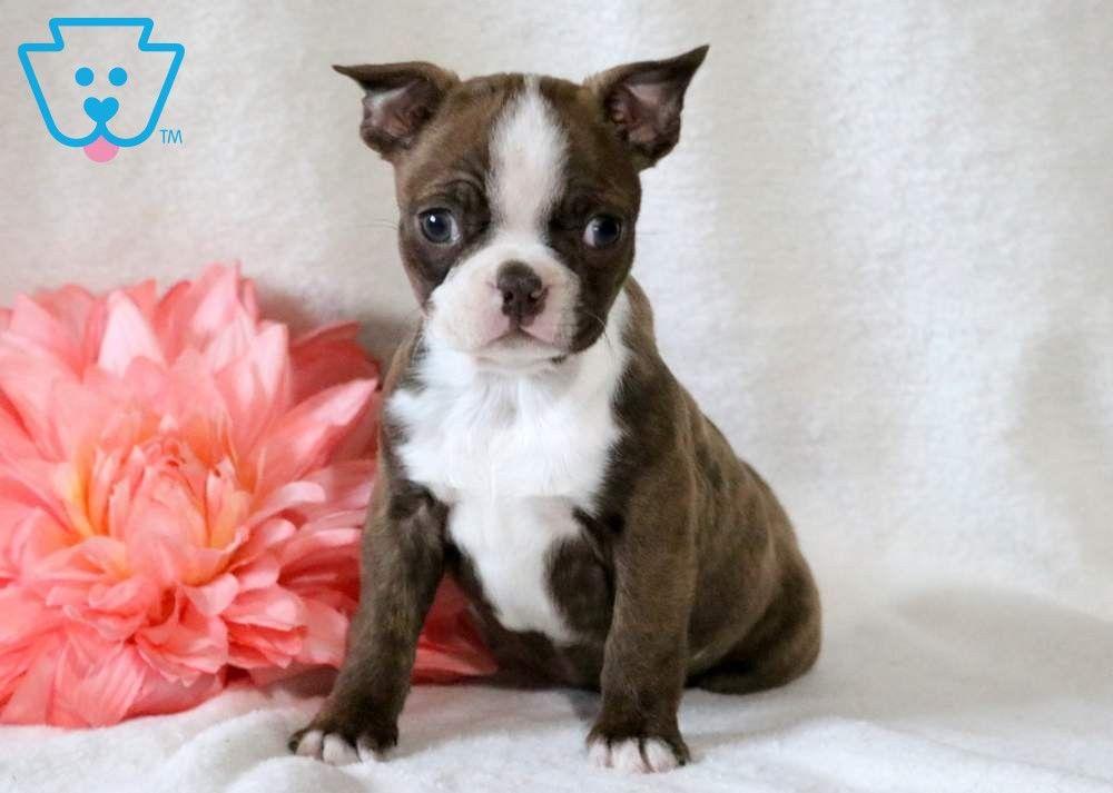 Asia in 2020 boston terrier terrier boston terrier puppy