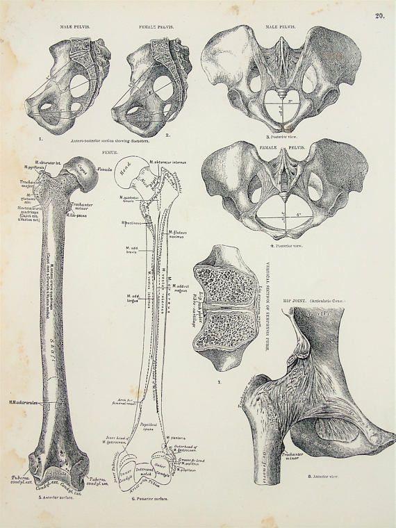Human Hip Joint Pelvis Skeleton & Bones 1880s Antique | Antique ...