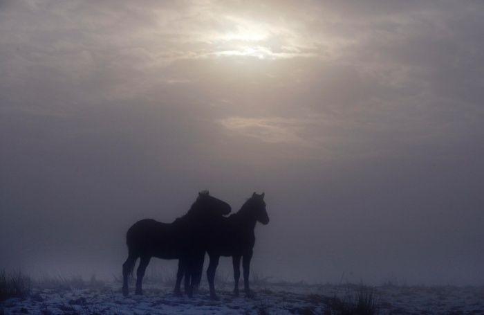 Cavalos selvagens faz seu caminho através de campos cobertos de neve na montanha Divis em 22 de janeiro de 2015 em Belfast, Irlanda do Norte.  Congelamento neblina e neve fizeram condições de condução na província difícil como as baixas temperaturas continuar.