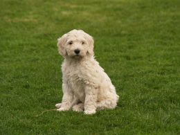 Ready To Go Now Multi Generation F5 Labradoodles Labradoodle