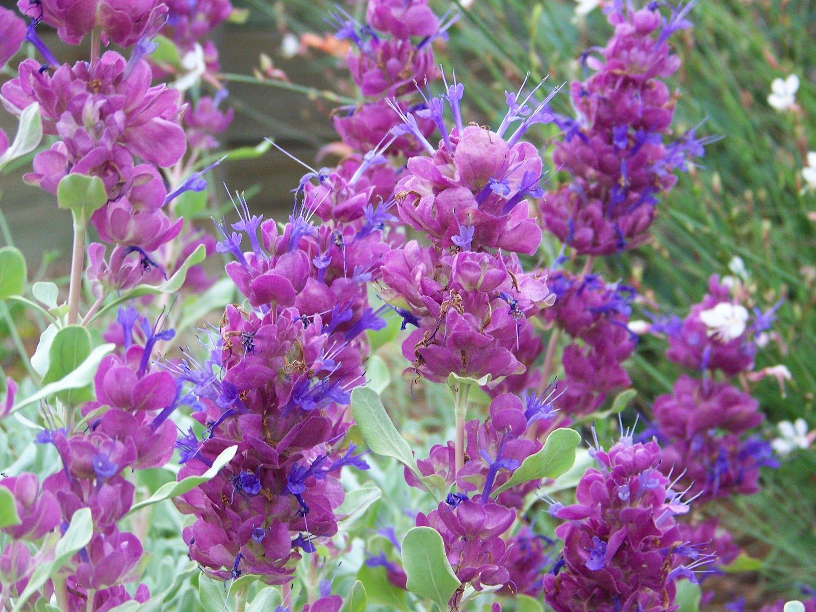 Salvia Pachyphylla Blue Flame