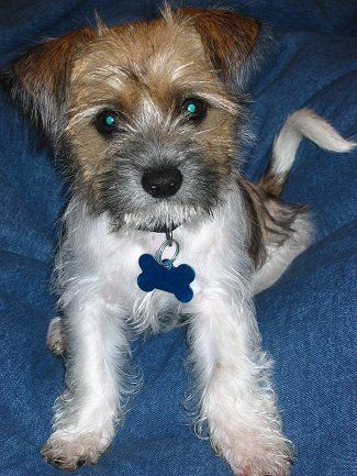 Shih Tzu Terrier Mix The Fo Tzu Puppy At 3 Months Old
