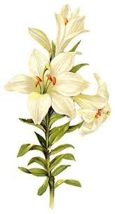 Botanical lily prints - Google Search