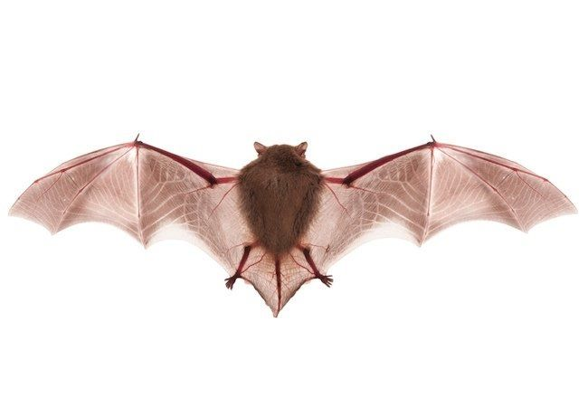 How To Get Rid Of Bats Getting Rid Of Bats Getting Rid