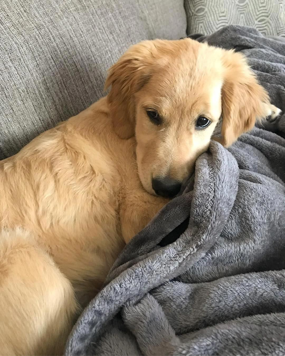Everything We All Respect About The Devoted Golden Retriever Puppy