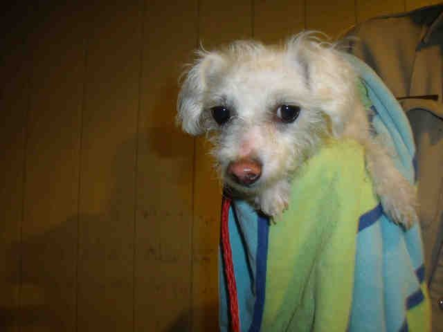 This DOG-ID#A1325174  I am described as a female, white Cairn Terrier mix.  The shelter thinks I am about 1 year and 1 month old..  I am waiting for my owner to find me. call: Orange County Animal Care Center at (714) 935-6848 Ask for information about animal ID number A1325174