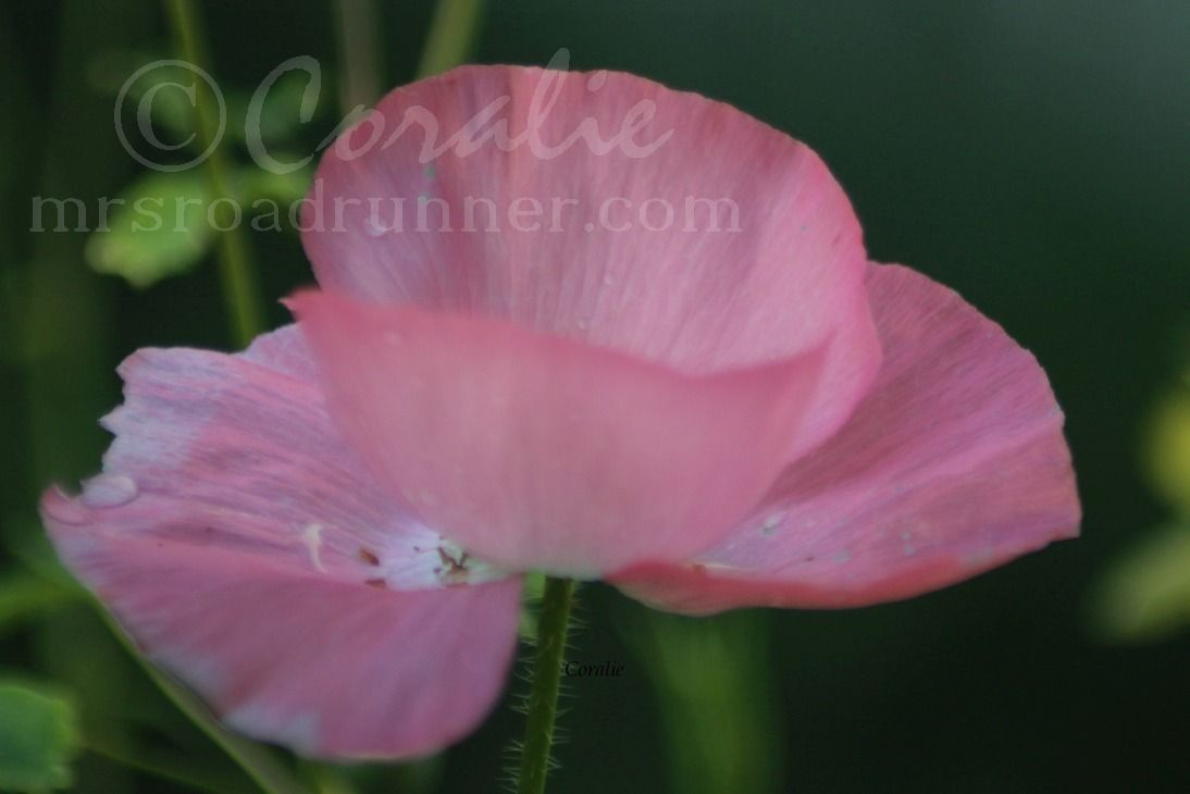 Soft Pinky Poppy Flower Download Downloads Pinterest Pink Poppies