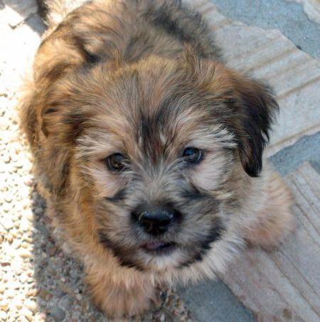 Yorkie-Apso | Lhasa apso, Pomeranian mix puppies, Puppies
