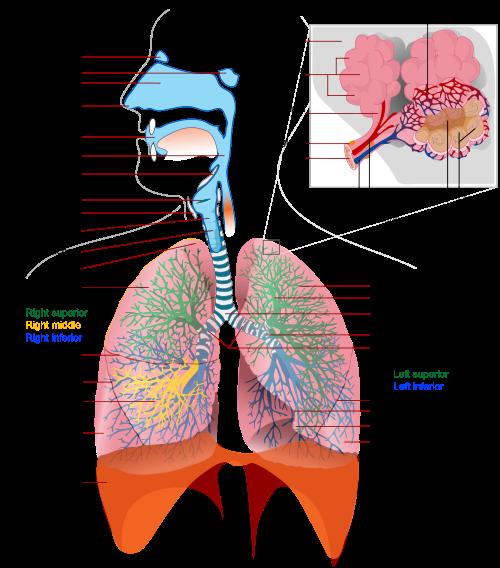 Respiratory System Lesson Resources | Anatomía, Fisiología y ...