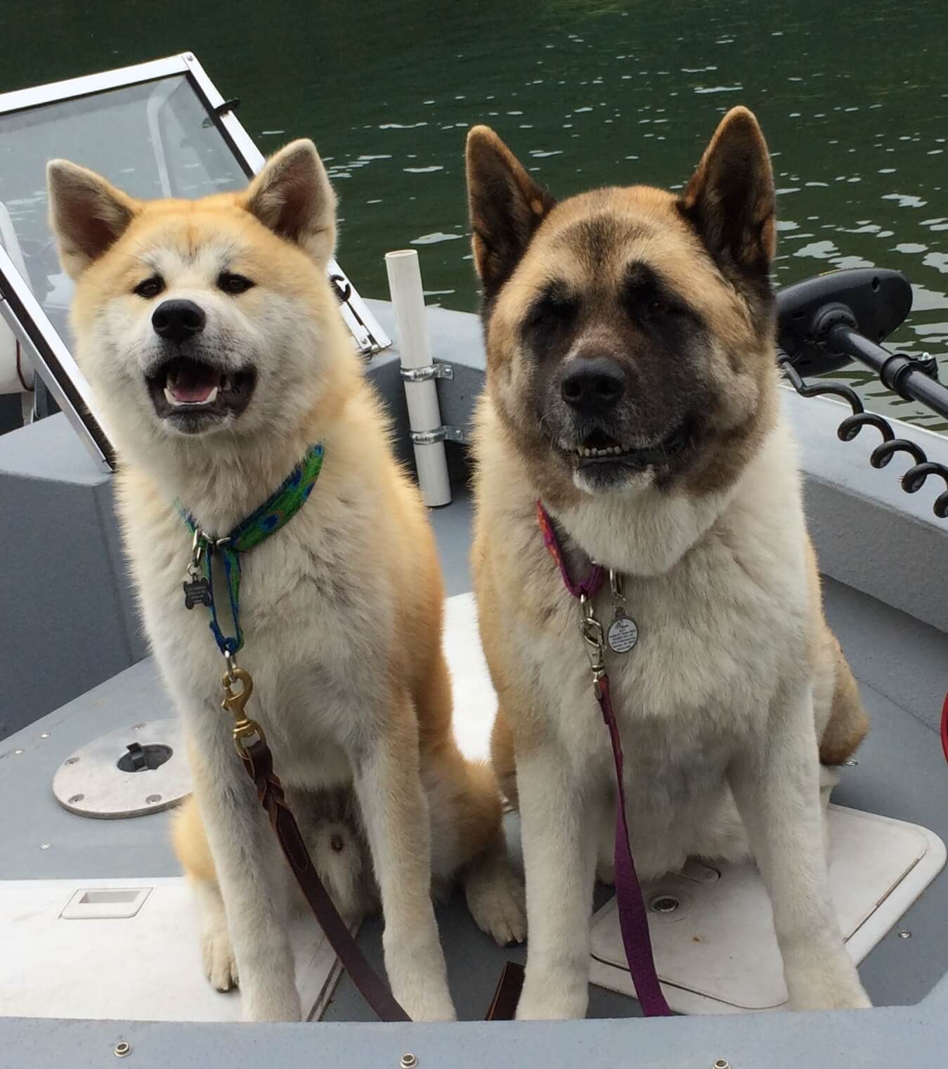 How To Identify A Japanese Akita Japanese Akita Akita Akita Dog
