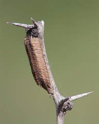 Praying Mantis Ootheca Egg Sac Earth Lover Praying Mantis Pray