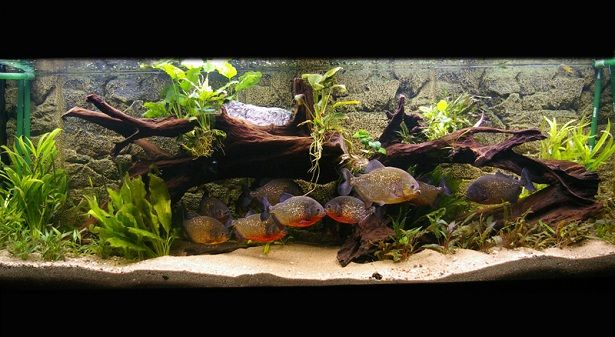 Great Love This Planted Piranha Aquarium :) Wish Mine Would Stop EATTING ALL THE  PLANTS