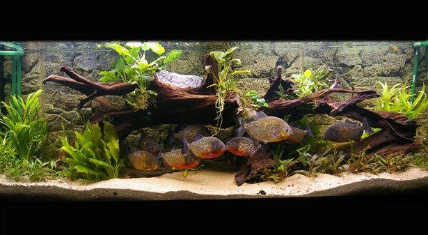 Grand Aquarium Avec Un Banc De Piranhas Aquariums Pinterest