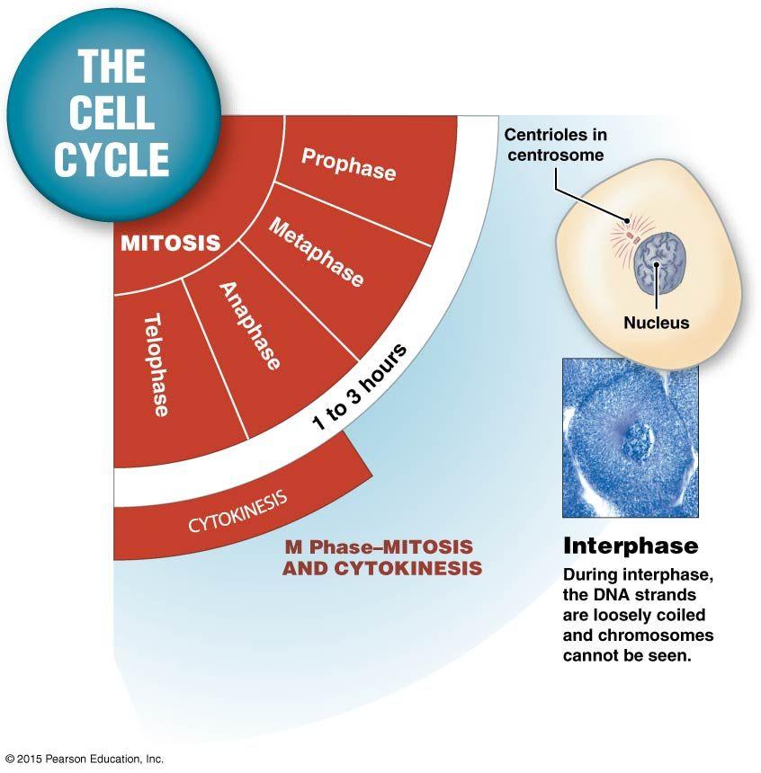 Stages of a Cell's Life Cycle   Pearson education, Anatomy ...