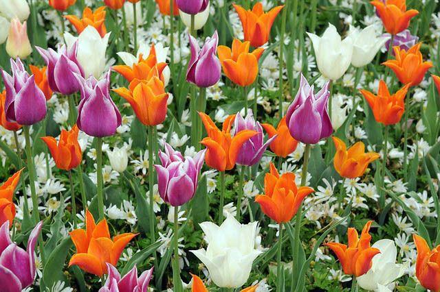Tulipa Ballerina Tulip Ballerina Lily Flowered Tulip Ballerina Lily Flowering Tulip Ballerina Lily Flowered Tulip Tulips Garden Tulips Colorful Garden