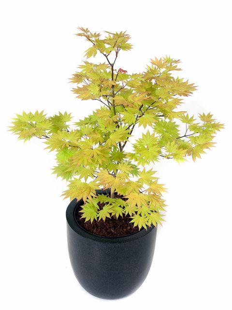 Japanischer Ahorn Im Kubel Pflanzenborse Garten Pinterest