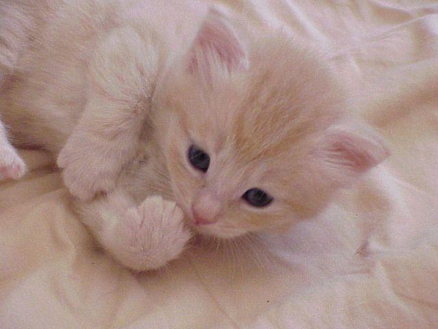 Cream Mac Tabby Siberian Kitten Siberian Cat Siberian Kittens Siberian Kittens For Sale