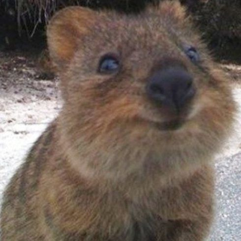 The Quokka | Cute animals list, Cute animals, Happy animals