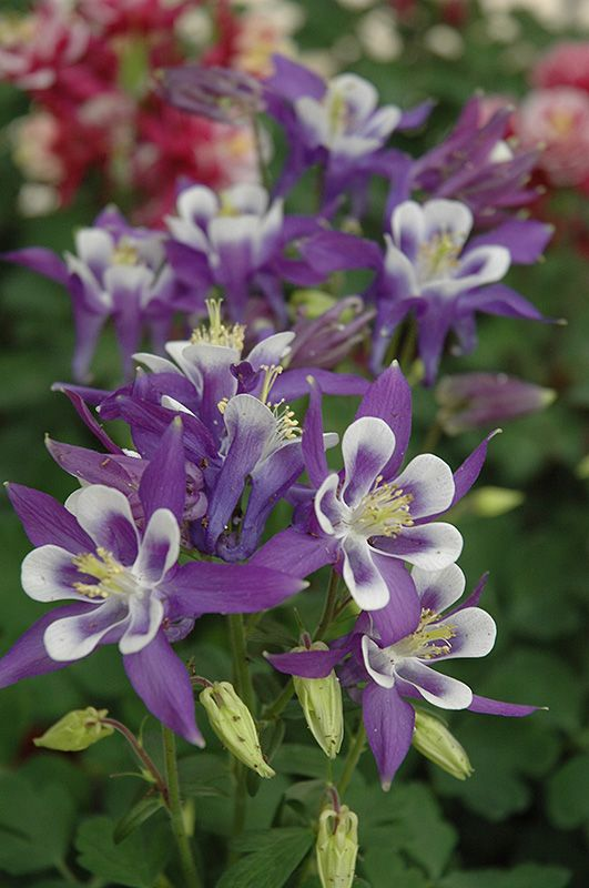 Winky Blue And White Columbine (Aquilegia 'Winky Blue And White') at Gertens