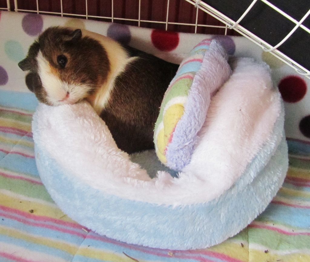 Sleeping position guinea pigs pinterest animal cavy for Guinea pig accessories diy